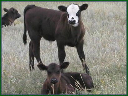 Beef calves at B Bar S Ranch